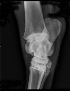 Horse Hock Advanced Arthritis