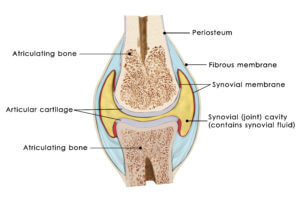 Horse Joint Normal Anatomy