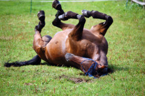 Horse Rolling with Colic Pain